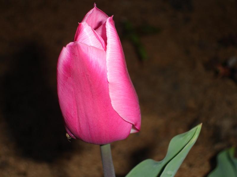 cvetia lale