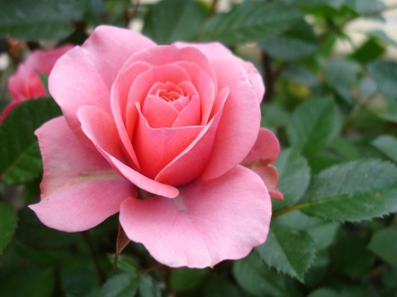 10 место: Роза, по европейской легенде, появилась из той же пены, из которой вышла Афродита.